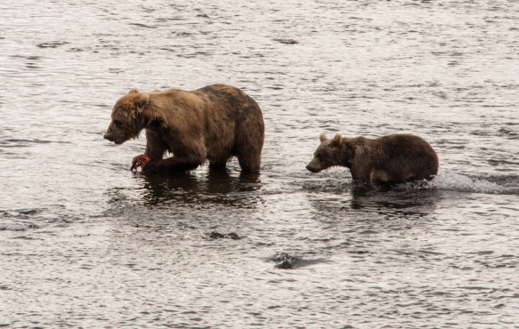 "Mom is joined by the first of three cubs who would like her to share her ""catch"", Frazer Lake, Kodiak Island, Alaska USA"