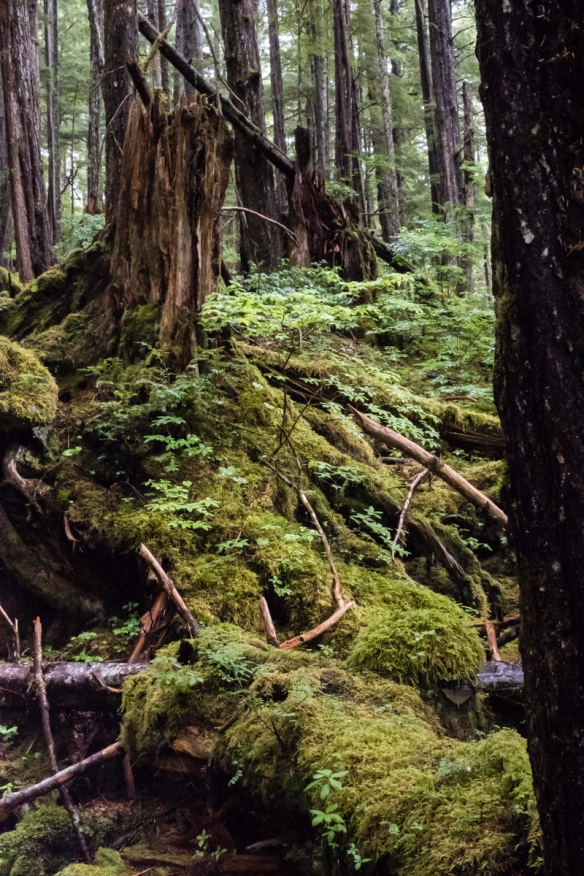 The forest floor is extremely moist due to the incessant, year-round rains, yielding many ferns, lichen, and other green plants, Tongass National Rainforest, Sitka, Alaska, USA