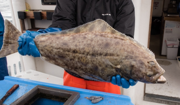 The intrepid explorer_s halibut on U-Rascal from Kodiak Island, Alaska USA