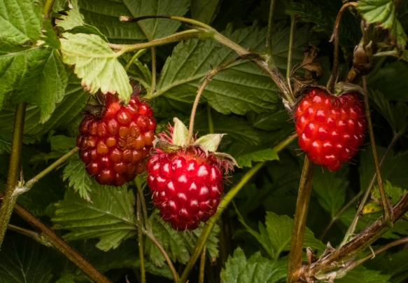 The lower hillsides of Ulatka Head Road were covered with salmon berry bushes and ripe berries – these are favorites of Alaskan bears (and us); Fort Schwatka, Dutch Harbor, Unalaska, A