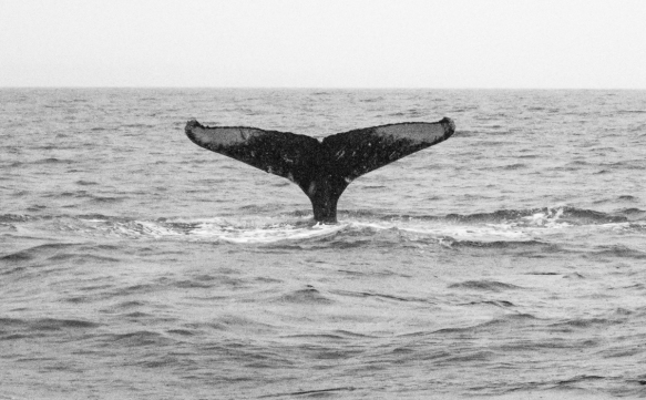 The tail flukes on each humpback whale are unique (like a human_s fingerprints) and can be used to identify individual whales, Sitka, Alaska, USA