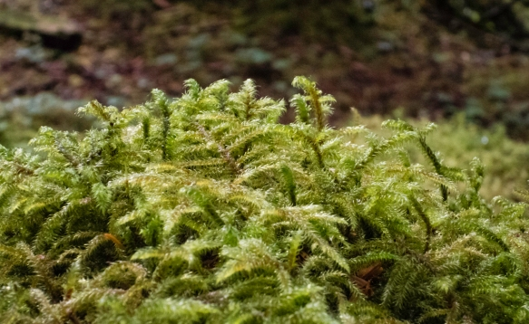 This lichen on tree bark looks more like baby ferns, Tongass National Rainforest, Sitka, Alaska, USA
