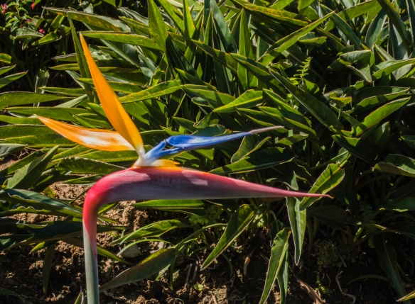 A bird of paradise flower in the Jardín Ave del Paraíso (Bird of Paradise Garden), Gran Parque Nacional Sierra Maestra, Santiago de Cuba, Cuba