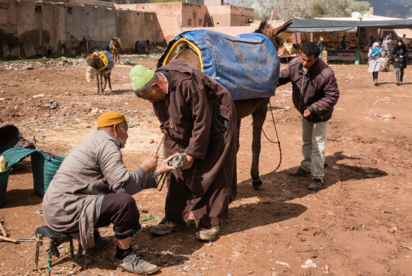 """A mule getting a new """"shoe"""" in the mule parking lot, Weekly Berber Market in Asni, High Atlas Mountains, Morocco"""