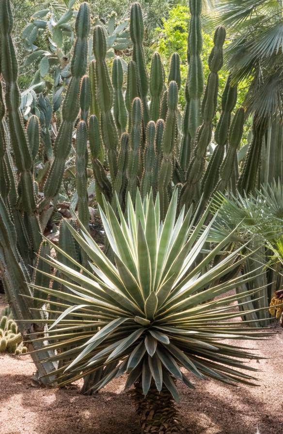 A painterly composition of cacti in Jardin Majorelle (Majorelle Garden), Marrakech, Morocco