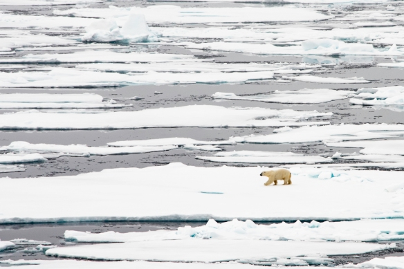 A male polar bear on Arctic pack ice, north of Svalbard, at Latitude 82º 37_, photo #1
