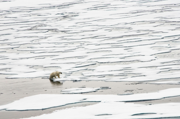 A male polar bear on Arctic pack ice, north of Svalbard, at Latitude 82º 37_, photo #2