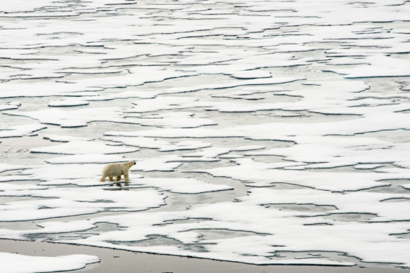 A male polar bear on Arctic pack ice, north of Svalbard, at Latitude 82º 37_, photo #3