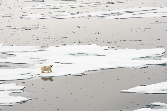 A male polar bear on Arctic pack ice, north of Svalbard, at Latitude 82º 37_, photo #4