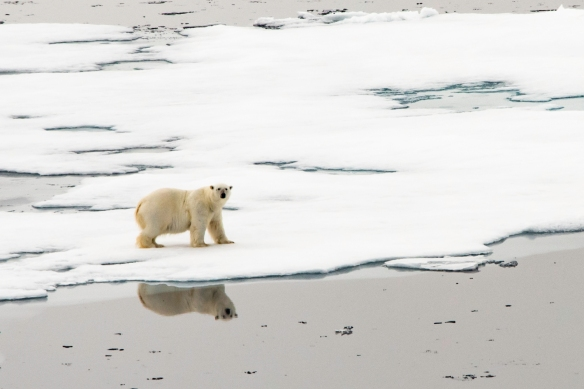 A male polar bear on Arctic pack ice, north of Svalbard, at Latitude 82º 37_, photo #5 – an enlargement of the previous photograph (#4)--