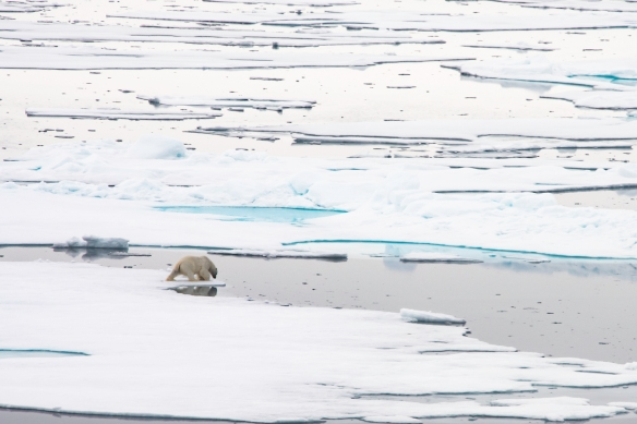A male polar bear on Arctic pack ice, north of Svalbard, at Latitude 82º 37_, photo #6