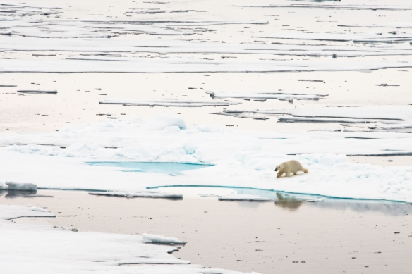 A male polar bear on Arctic pack ice, north of Svalbard, at Latitude 82º 37_, photo #7-