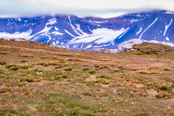 Gnålodden, Hornsund Fjord, Spitsbergen Island, Svalbard, photograph #3 – this was the most fertile stretch of tundra that we encountered on Svalbard, with thousands of flowers on the