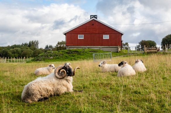 On our hike around Torghatten, Trollfiell Geopark, Brønnøysund, Norway, we passed several farms – here we found some sheep sitting in the grass below the farm house