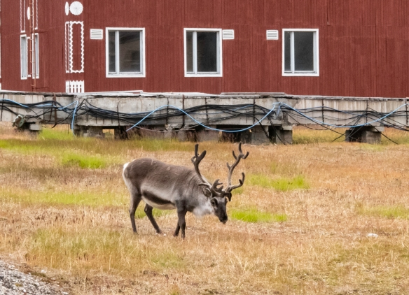 One of several Svalbard reindeer (smaller than their cousins in Norway) we saw freely wandering around Pyramiden, Spitsbergen Island, Svalbard