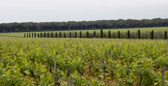 The vineyards of Le Macchiole (winery), Bolgheri, Italy