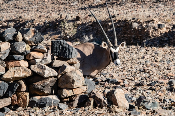 An Arabian oryx (or white oryx) watched us descend down the cliff, walking around an old stone sheep corral, partially hiding while keeping a wary eye on us, NamibRand Nature Reserve, Na