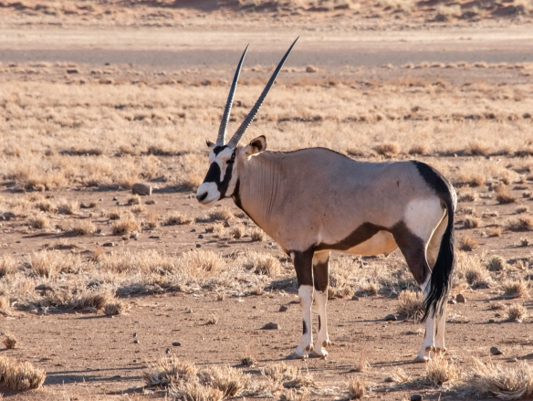 An Oryx watched us warily as we drove up, stopped for some photographs, and drove on, NamibRand Nature Reserve, near Sossusvlei, Namibia