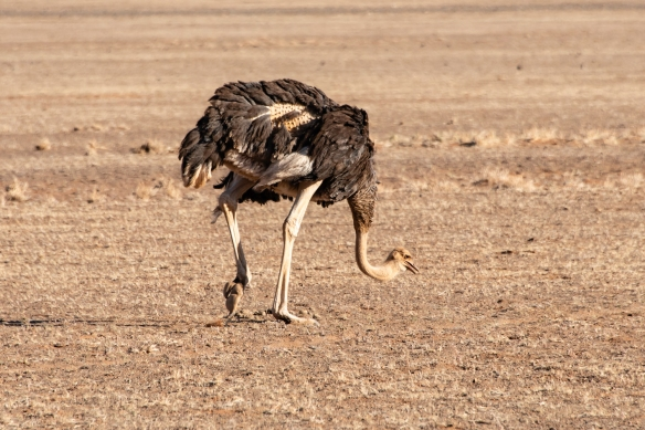 An ostrich in NamibRand Nature Reserve, near Sossusvlei, Namibia