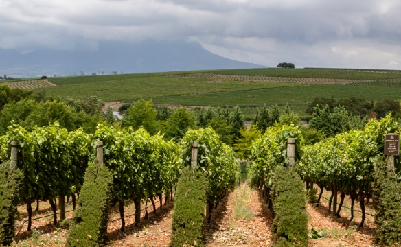 Chenin Blanc (the leading varietal of South African wineries) vineyards, DeMorgenzon, Stellenbosch, South Africa; we brought back some of the excellent Reserve Chenin Blanc to our apartm