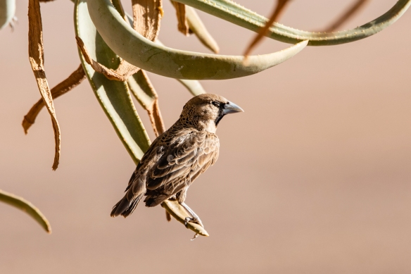 Just before we went out on our sunset drive, we were greeted by a Sociable Weaver, a common resident of the lodge, on the terrace; &Beyond Sossusvlei Desert Lodge, Namibia