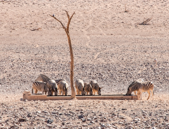Mid-afternoon, we spotted a group of Burchell_s Zebras enjoying water from the lodge_s water trough (supplied daily by truck, from the lodge_s spring), &Beyond Sossusvlei Desert Lo