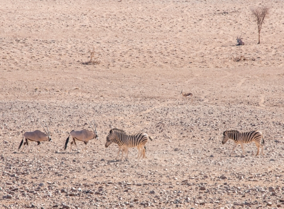 On the desert pan this photograph captured two oryx, 2 Burchell_s Zebra, a springbok (midground), and a resting oryz under the shade of the Acacia tree, &Beyond Sossusvlei Desert Lodge