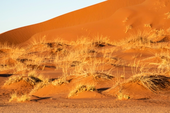 Sand Dunes at Sunrise, Sossusvlei, Namibia, #4 -- dune grasses highlighted by the early morning sunlight