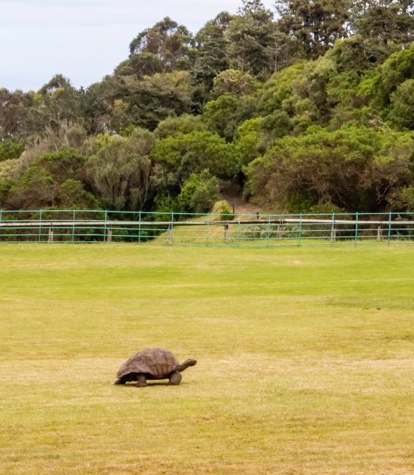 Several giant tortoises roam the grounds of the Plantation House, including the oldest living inhabitant on Saint Helena Island, Jonathan (age estimated to be around 185 years old!), a S