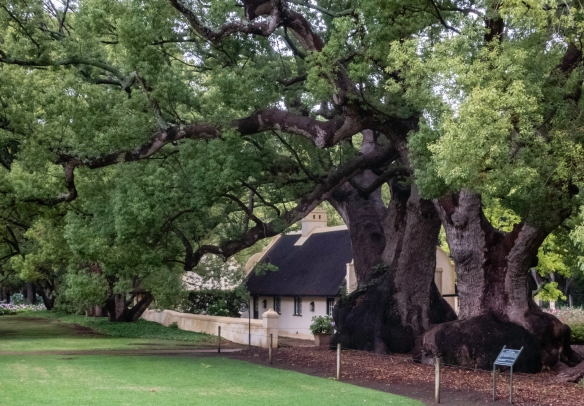 The Camphor Tree (Cinnamon Camphora) is a native of China and Japan was introduced to the Cape region about 1670 by the Dutch East Indies; these trees were planted by W.A. van der Stel b