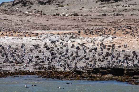 "There are still hundreds of African ""jackass"" penguins (Spheniscus demersus) on Halifax Island, Lüderitz, Namibia"