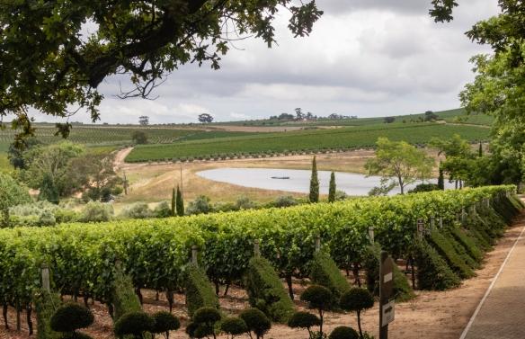Vineyards at DeMorgenzon, Stellenbosch, South Africa