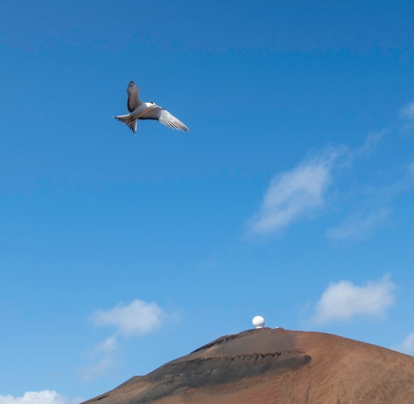 On of the hundreds of sooty terns flying around water_s edge at Mars Bay Nature Reserve, Ascension Island