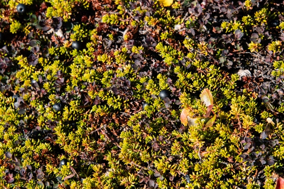 Local crowberries (similar to blueberries) growing close to the ground (tundra) in Sermermiut valley, Ilulissat, Greenland