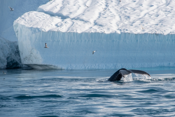 The Ilulissat Icefjord, Ilulissat, Greenland #2 – we were fortunate on our boat ride through the icebergs to see several pods of humpback whales (easy to spot in the water with the enormous number of birds circling overhead)