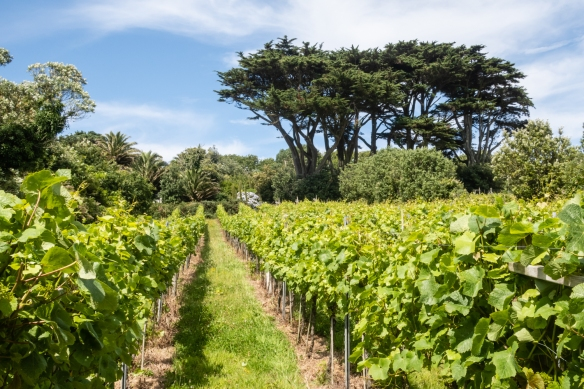 The winery has several parcels of vineyards across St. Mary's Island on the Isles of Scilly, United Kingdom; these are located at the winery where we visited and had a tour and tasting