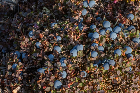 These wild blueberries were almost at the peak of flavor just before the end of the brief summer season; our Inuit guide noted that they are picked and eaten by the Inuit who savor the fresh berries for just a short period each year