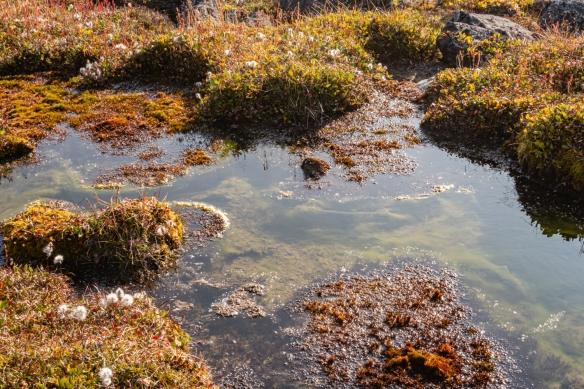 This wetland bog, with beautiful mosses, was one of many that we had to walk around on our hike through the tundra below the solid ground and stone moraine of the higher grounl; Feacham Bay, Buchan Gulf, Baffin Island, Canada