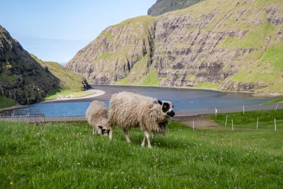 Two of the 700 sheep on the Dúvugarður sheep farm in Saksun, Streymoy, Faroe Islands