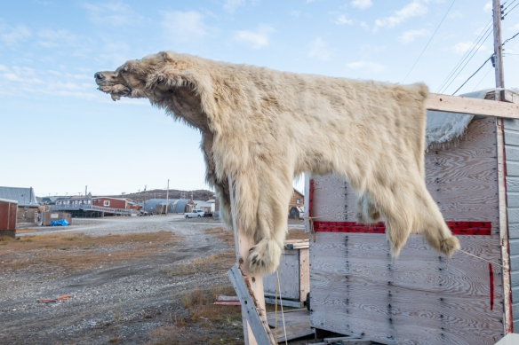 A polar bear skin drying in the front yard of a local hunter and trapper, Ulukhaktok, Victoria Island, Northwest Territories, Canada