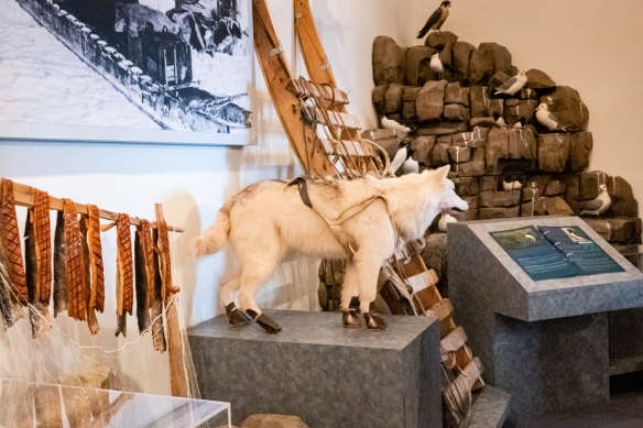 A sled and sled dog among the items on display in the Pond Inlet Museum in the Community Library; Pond Inlet, Baffin Island, Nunavut, Canada