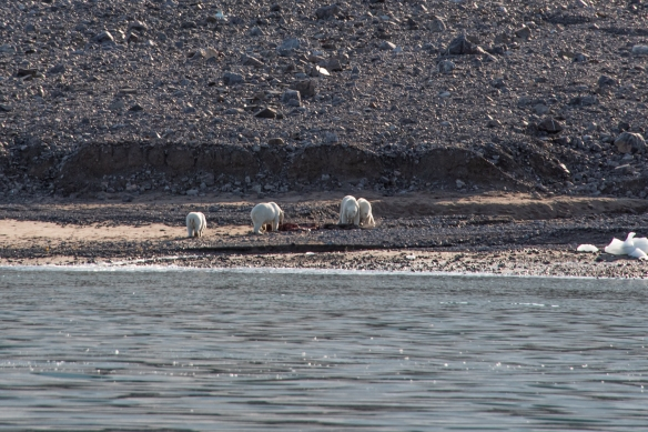 After a few minutes of the standoff, the first mother (on the right with her yearling) relented and made room for the new arrivals to join in the seal luncheon; Ellesmere Island, Nunavut, Canada