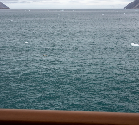 After the captain announced that we had a polar bear swimming in the vicinity of the ship on the starboard side, we went out on our verandah and saw the polar bear immediately abeam of our apartment, not very far away; Fitzroy Fjord