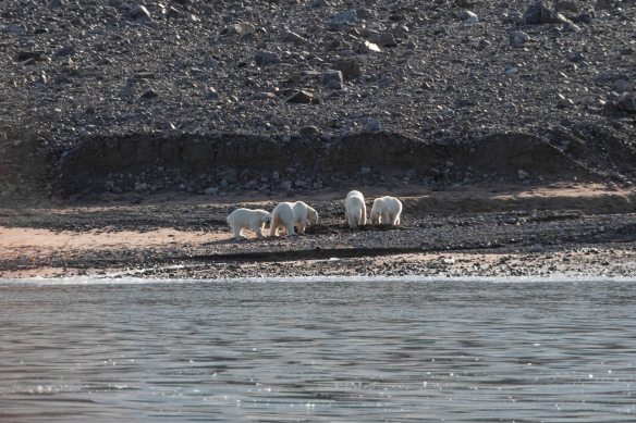 And a nice feast was enjoyed by all; note that the two mother polar bears each put their yearling off to the side away from the other mother, for protection; Ellesmere Island, Nunavut, Canada