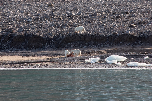 "By the time we arrived on the ""scene"" in our Zodiac, a mother polar bear and her yearling had dragged a seal carcass up to the beach and were busy eating while two other polar bears (only one is pictured here) were looking on with envy"
