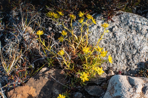 It was very late in the summer season to find these yellow flowers in the tundra, Port Epworth, mainland, Nunavut, Canada
