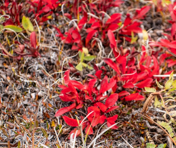 On the first of September it was already fall here, as seen in the red color of the bear berry plants on the tundra, Nakyoktok River waterway, Johansen Bay, Victoria Island, Nunavut, Canada