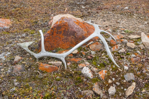 One-half of a caribou antler in the front yard of one of the beach fishing shacks, Cambridge Bay, Victoria Island, Nunavut, Canada