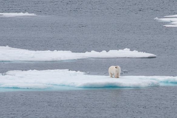Polar bear # 2, Peel Sound, Northwest Passage, Nunavut, Canada