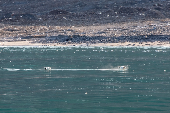 Suddenly, we spotted two more polar bears (another mother and yearling) in the water who smelled lunch and were heading towards the shore, Ellesmere Island, Nunavut, Canada